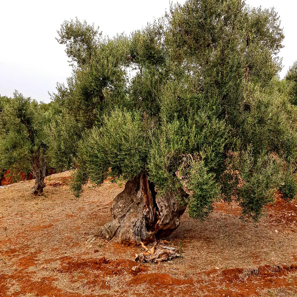 Ostuni olives grove